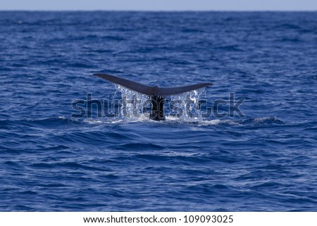Sperm whale diving, the Azores, Atlantic Ocean - stock photo