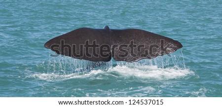 Sperm Whale shot on the Kaikoura Coastline, New Zealand - stock photo