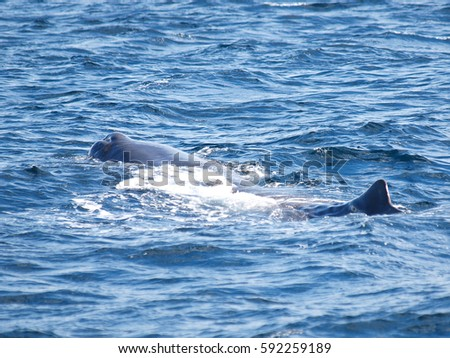 Sperm Whale showing its flukes as it dives, Vesteralen,  Norway