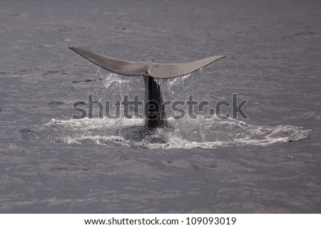 Sperm whale showing tail before a deep dive, the Azores, Atlantic Ocean