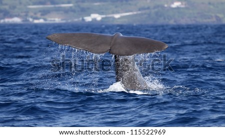 Sperm whale starts a deep dive - near shore waters south of Lajes do Pico (Pico Island, Azores) 02 - stock photo