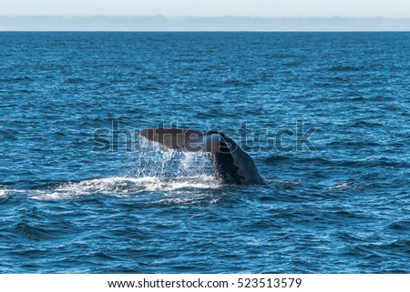 Sperm Whale Tail Showing Before the Dive, Kaikoura, South Island New Zealand