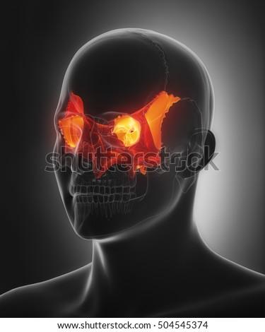 sphenoid bone os sphenoidale 3d illustration stock illustration, Sphenoid