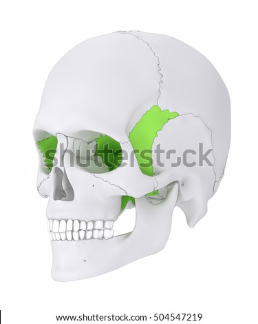 sphenoid bone stock images, royalty-free images & vectors, Human Body