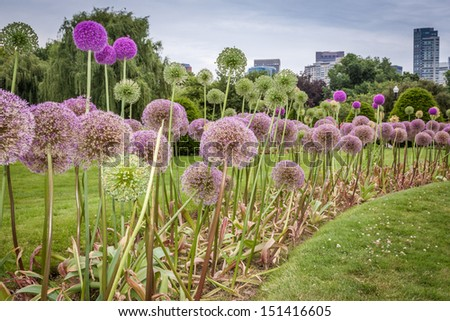 Spherical brightly colored flowers in the Boston public garden - stock photo