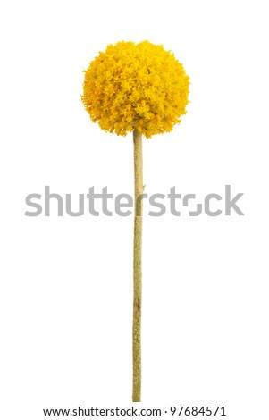 Spherical with a delicate yellow flower stems on a white background - stock photo