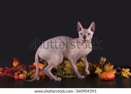 Sphinx and autumn leaves on a black background isolated - stock photo