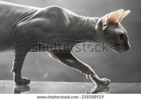Sphinx canadian cat on reflective surface on the gray background - stock photo