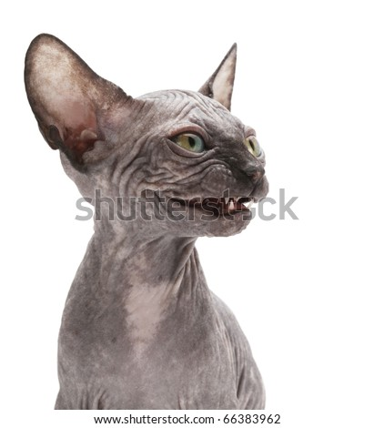 sphinx cat - stock photo