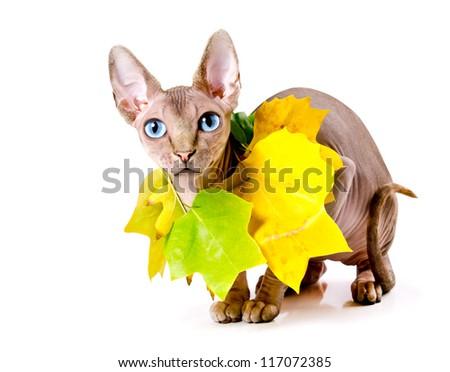sphinx cat and autumn - stock photo