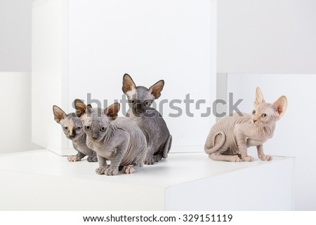 sphinx cat family on the bright background - stock photo