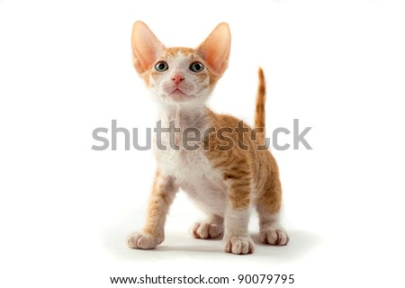 sphinx cat on white background