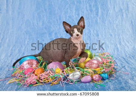 Sphinx kitten with Easter eggs - stock photo