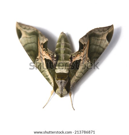 Sphinx Moth isolated on white - stock photo