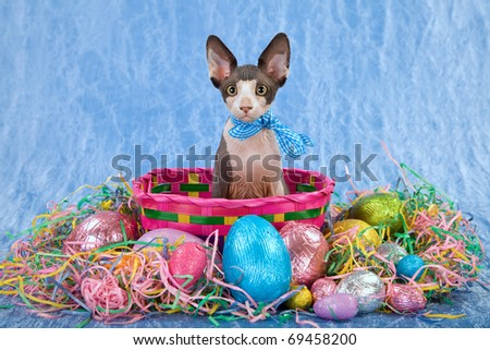 Sphinx sphynx kitten in easter basket with colorful straw and easter eggs - stock photo