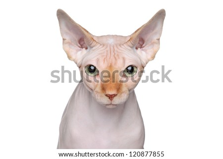 Sphynx cat. Close-up portrait on a white background - stock photo