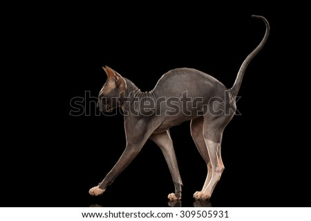 Sphynx Cat Funny Standing Isolated on Black Background - stock photo