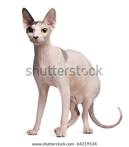 Sphynx cat, 13 months old, standing in front of white background - stock photo