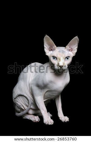 Sphynx cat on black background - stock photo