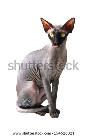 Sphynx cat on white background - stock photo