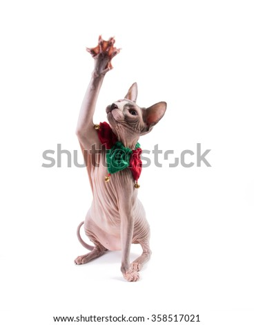 Sphynx cat playing on white background in the studio with holiday collar - stock photo
