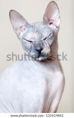 Sphynx cat portrait. Looking at the camera with closed eyes - stock photo