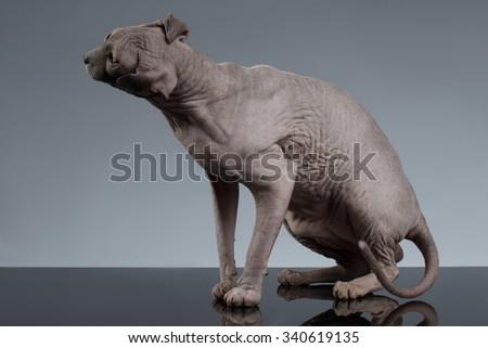 Sphynx Cat shakes his head on Black Background - stock photo