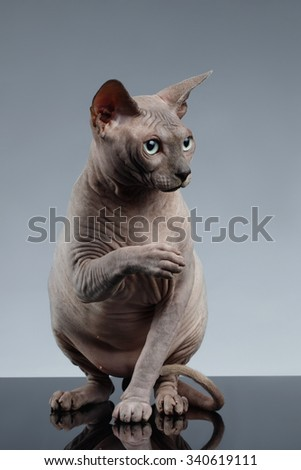 Sphynx Cat Sits and Looking up on Black Background - stock photo