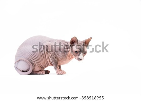 Sphynx cat sitting on white background in the studio - stock photo