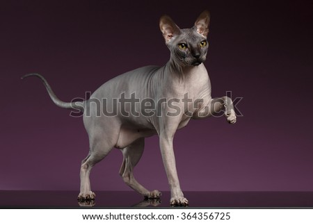 Sphynx Cat Stands and raise up paw on purple background