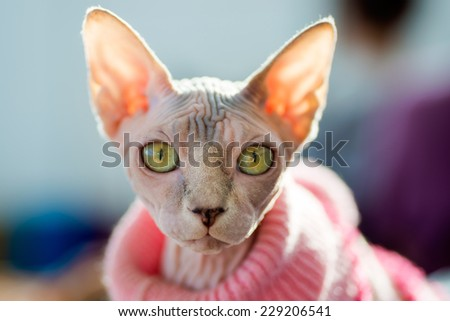 Sphynx cat wearing pink pullover, sun shining through the ears, close-up shot, blurred background - stock photo