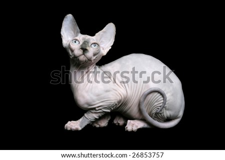 Sphynx cat with curled tail on black background