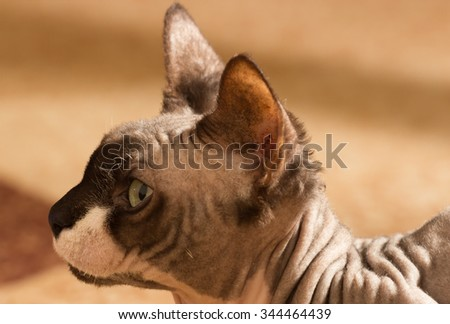 Sphynx cat, 1 year old, close up