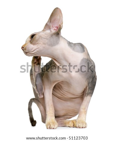 Sphynx cat, 1 year old, itching in front of white background