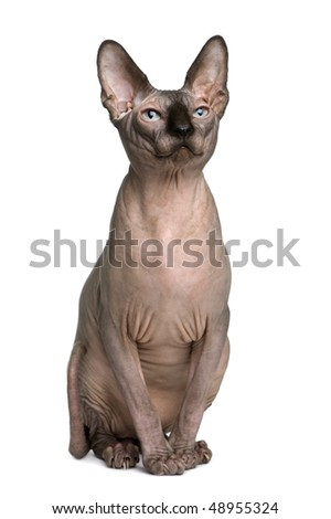 Sphynx cat, 1 year old, sitting in front of white background - stock photo