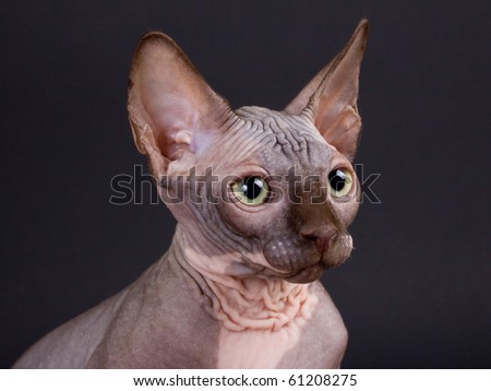Sphynx chocolate kitten on a black background. Not isolated.