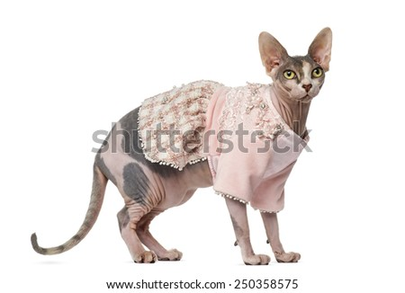 Sphynx dressed (1 year old)