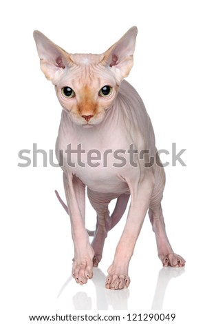 Sphynx hairless cat on white background with reflection - stock photo