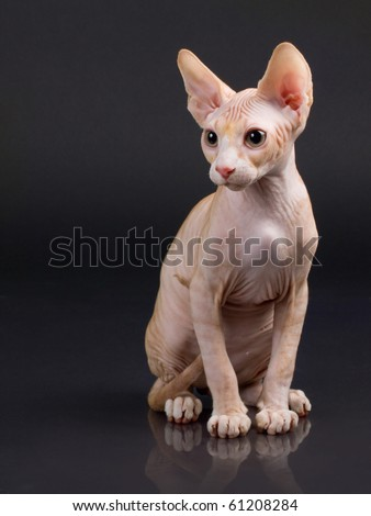Sphynx kitten on a black background with reflection. Not isolated.