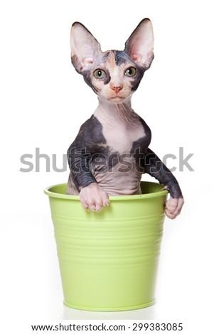 Sphynx kitten sitting in pot (isolated on white) - stock photo