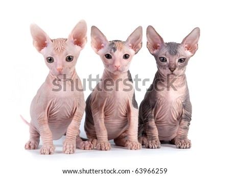 Sphynx kittens with white background - stock photo