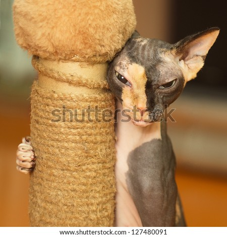 Sphynx playing with a scratching post - stock photo