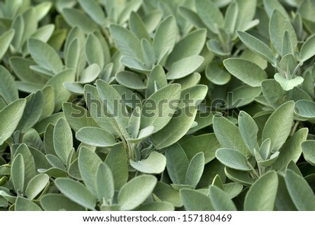 Spice plant: sage, (salvia officinalis), in vegetable garden - stock photo
