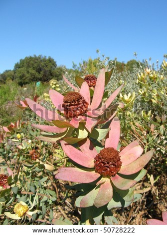 Spicy cone bush flowers in Africa   - stock photo