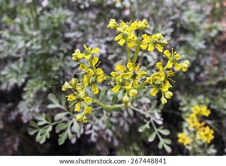Spicy plants rue growing in the garden - stock photo