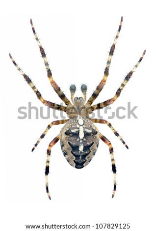 Spider Araneus diadematus (male) on a white background