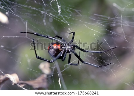 Spider, Australian Red-back, spider at rest on web with  leaf litter - stock photo