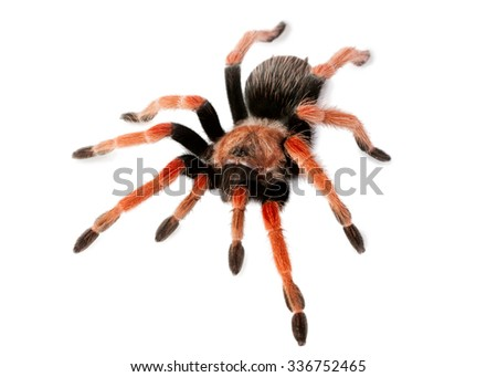 Spider Brachypelma boehmei isolated on white - stock photo