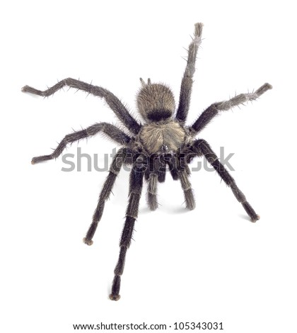 Spider Chaetopelma olivaceum on a white background
