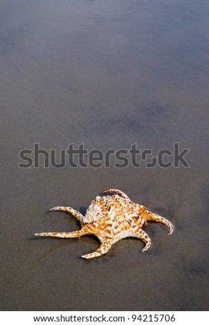 Spider Conch shell on wet sand